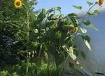 ミツクラ堆肥でできたひまわり 高さ推定3m