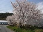 今年も農場内の桜は満開です!