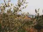 オリーブの葉に夕暮れの日差し