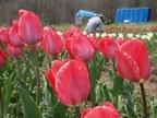 咲いた~咲いた~チューリップの花が~♪