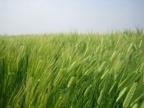 風に揺れる麦の穂