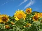 太陽の光をいっぱい浴びて咲くひまわり。見ているだけで元気になります。