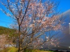 農場内の桜もついに開花しました。