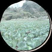 春キャベツ畑。