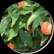秋のヤマボウシ。マンゴーのように甘いそうです。