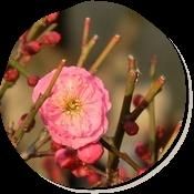牛窓に一輪だけ咲いている梅の花を見つけました。
